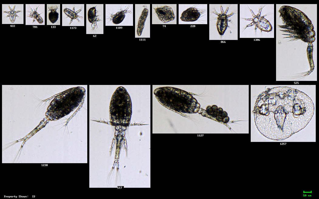 Zooplankton from Casco Bay, Maine (4X)
