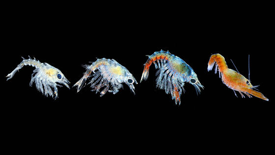 Lobster-larvae-News-feature Jessica Waller